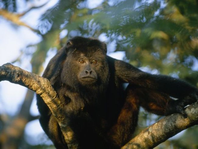 Howler Monkey - things to do in Placencia Belize