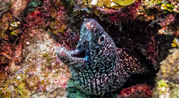 spotted-moray photos belize