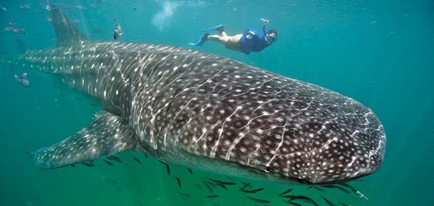 whale sharks in belize - things to do in placencia