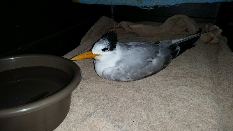 Rescued Terns Bird at Chabil Mar