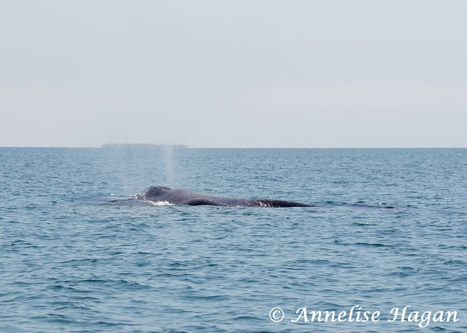 Humpback Whale off the Placencia Coast
