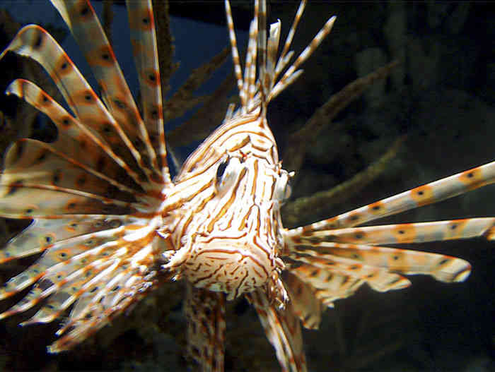 Loinfish
