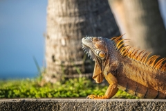 Iguana Love Chabil Mar Resort Belize