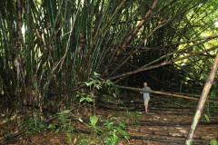 Jungle Bamboo