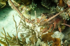 Lobsters are often seen by snorkelers. In season you can bag them!