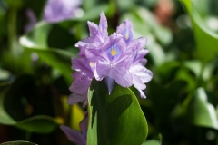 Orchid-Purple - Chabil-Mar-Resort-Belize