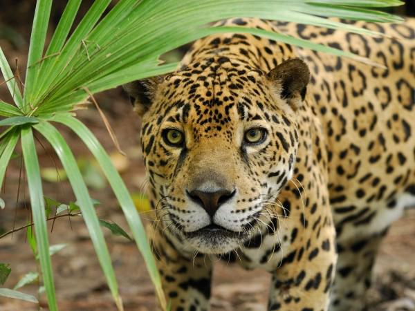 Belize-Jaguar