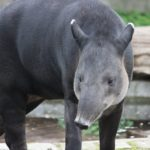 The Baird's Tapir, the National Animal of Belize