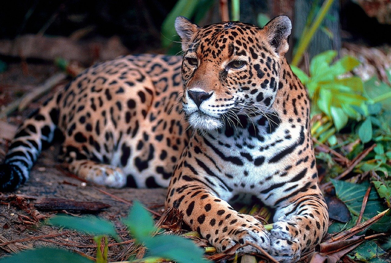 The Belize Jaguars