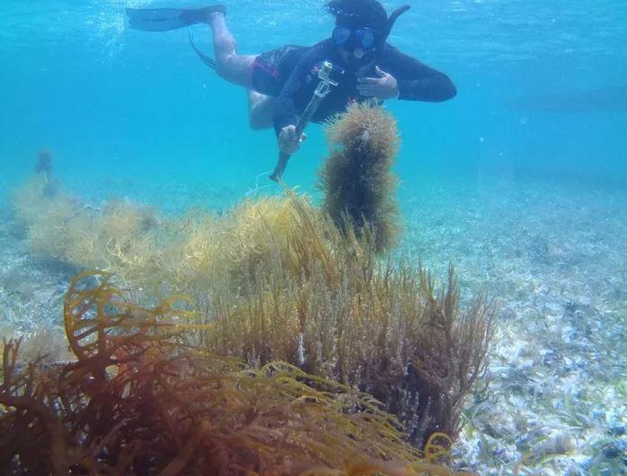 belize seaweed